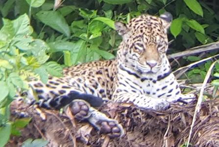 jaguar, een woord uit het guaraní