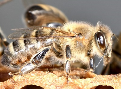 luna de miel - abeja